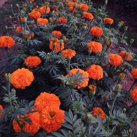 ดาวเรืองมหาโชค สีส้ม จำนวน100เมล็ด