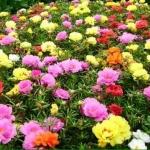ดอกแพรเซี่ยงไฮ้ Sun Plant