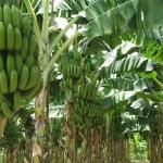 3 เหตุผลที่ทำไมกล้วยหอมทองจึงพืชเศรษฐกิจที่น่าสนใจ
