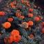 ดาวเรืองมหาโชค สีส้ม จำนวน100เมล็ด thumbnail 1