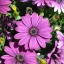 แพชชั่น(Osteospermum Passion Mix) thumbnail 6