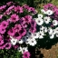 แพชชั่น(Osteospermum Passion Mix) thumbnail 1