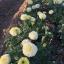 ดาวเรืองสีขาว จำนวน50เมล็ด thumbnail 3