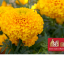 Mar234สีทอง(มั่งมี ทอง) จำนวน 100 เมล็ด thumbnail 1