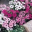 แพชชั่น(Osteospermum Passion Mix) thumbnail 3