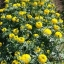 ดาวเรืองมหาโชค สีเหลือง จำนวน100เมล็ด thumbnail 1