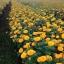 ดาวเรืองมหาโชค สีทองเข้ม ฤดูฝน จำนวน100เมล็ด thumbnail 2
