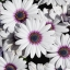 แพชชั่น(Osteospermum Passion Mix) thumbnail 5