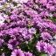 แพชชั่น(Osteospermum Passion Mix) thumbnail 2